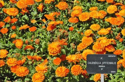 草藥醫學—你可以信賴的金盞花