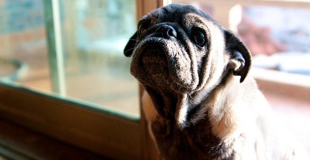 犬糖尿病的成因及照料