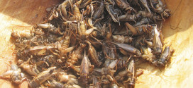 蟋蟀來了,你願意讓自家毛孩吃蟋蟀嗎?