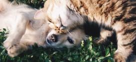 FDA警告:犬貓吃無穀飼料容易得到DCM心臟病