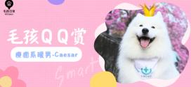 [毛孩QQ賞]  療癒系暖男-薩摩耶Caesar