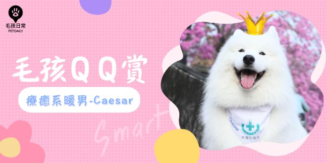 [毛孩QQ赏]  疗愈系暖男-萨摩耶Caesar